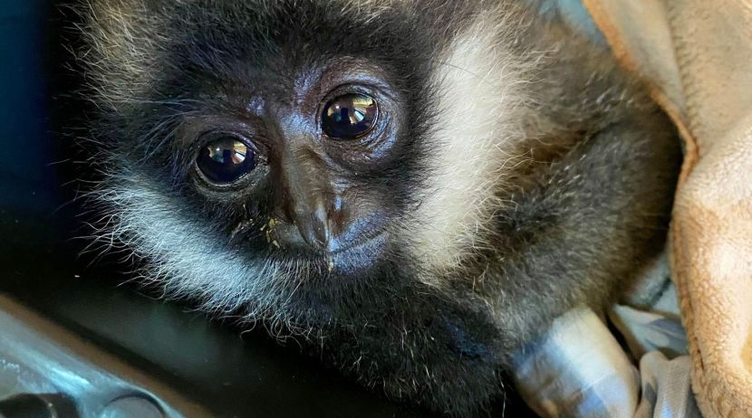 Endangered white cheeked gibbon rescued