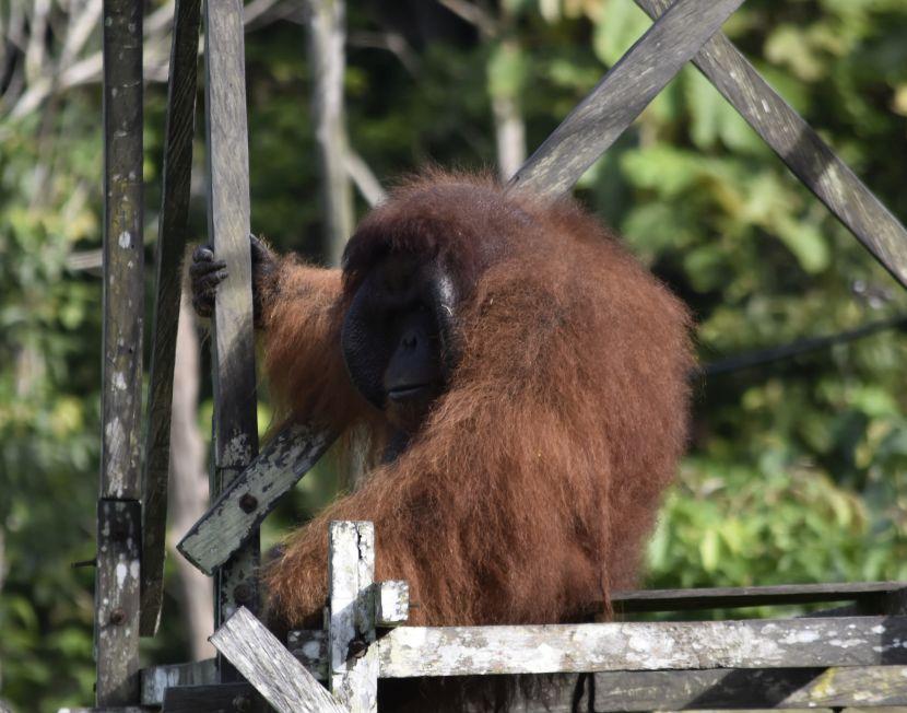 Papa The Orangutan On Top Of platform
