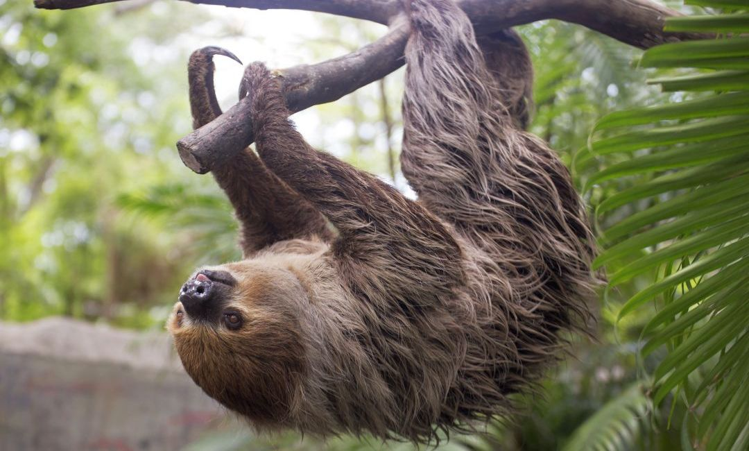 Hoffman's Two-Toed Sloth in Tree - The Great Projects