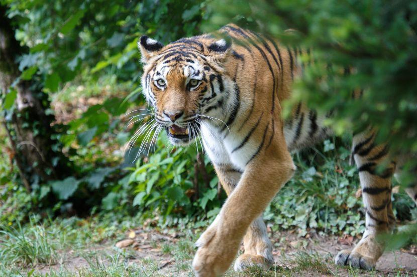 siberian tiger amur tiger russia