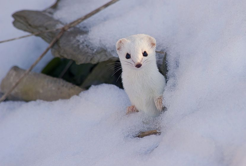 Snow stoat