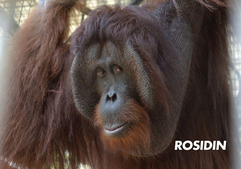 Orangutan volunteer programme