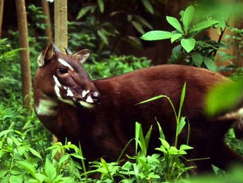 what is a saola?