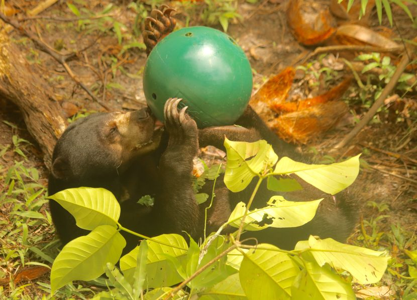 Sun Bear Enrichment At The Great Orangutan Project