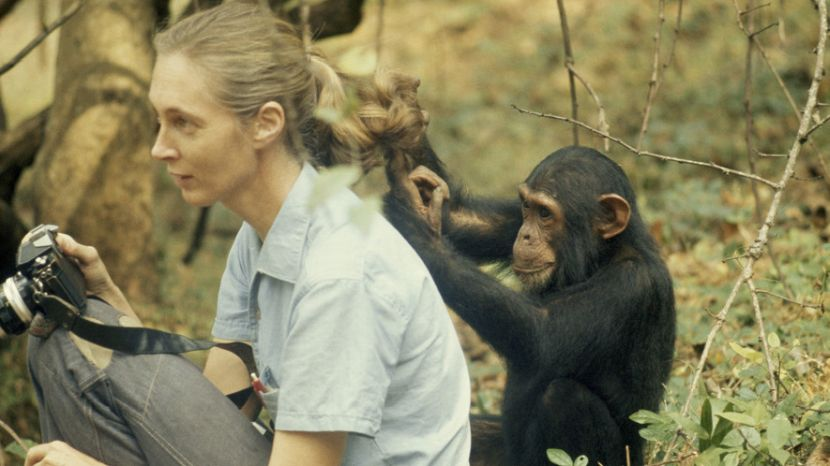 Jane Goodall Living With Chimps