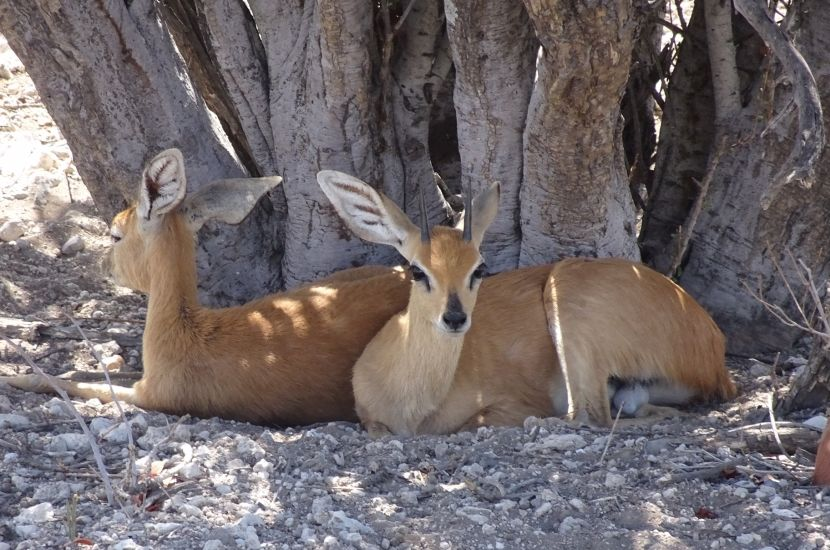 Dik Dik in Etosha National Park - Six Day Dune and Wildlife Experience