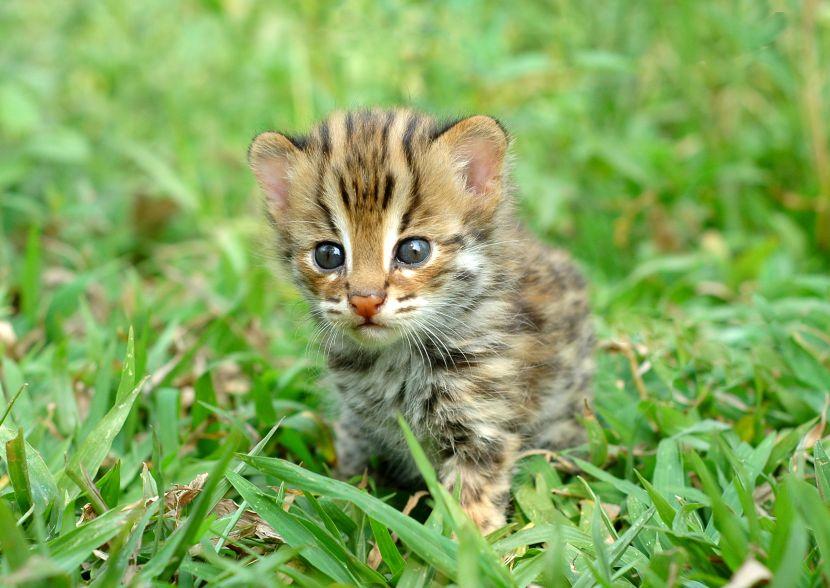 african cub
