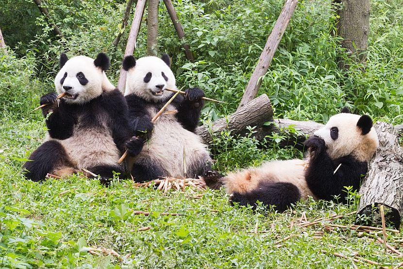 Giant Panda Coat