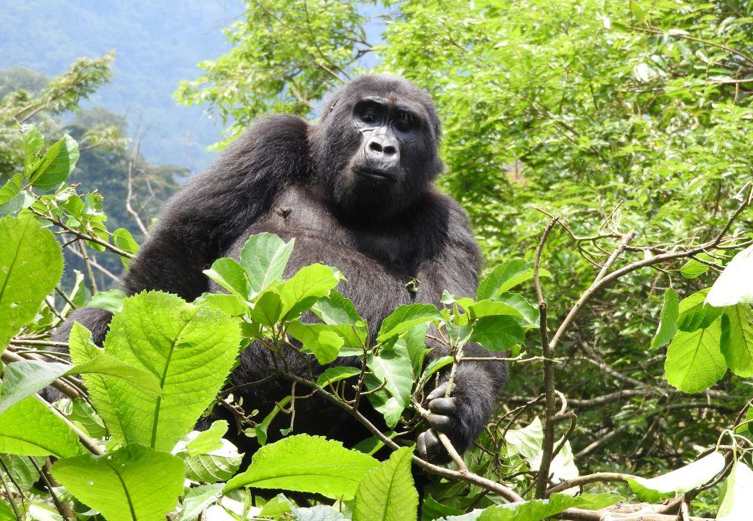Silverback Gorilla at Mgahinga Gorilla National Park - The Great Gorilla Project