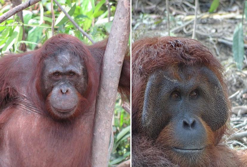 Nyaru Menteng Orangutans