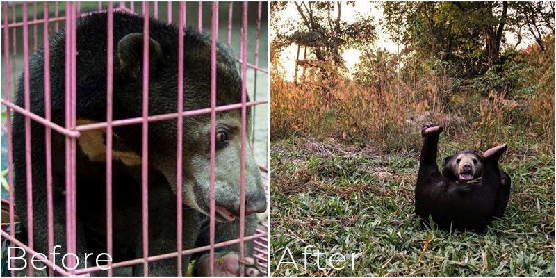 Missy Malayan Sun Bear Laos Wildlife Sanctuary