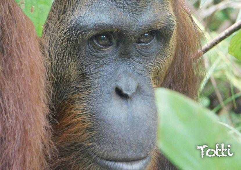 Samboja Lestari orangutan release