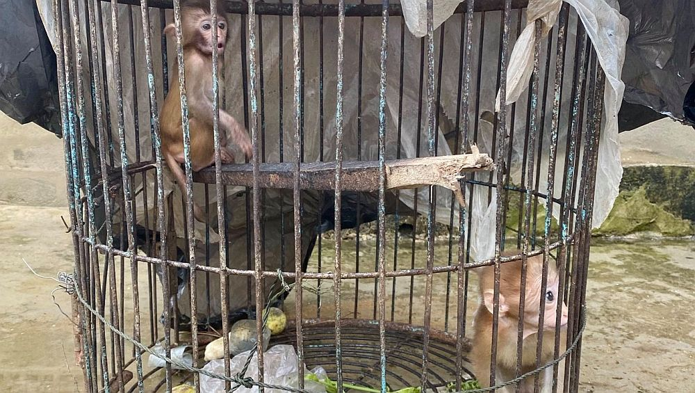 Macaques Before Rescue - Laos Wildlife Sanctuary