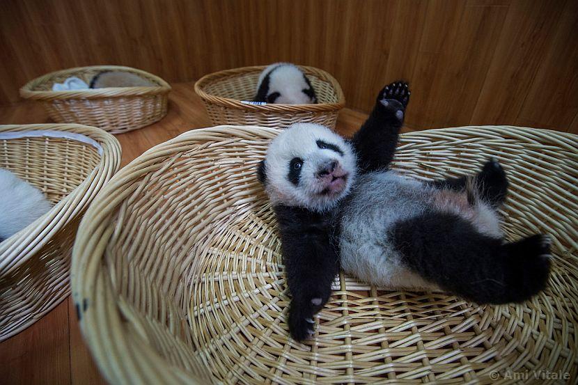 Panda rolling about