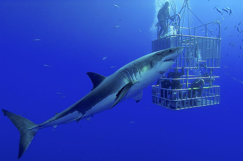 Shark cage diving on shark awareness day 2017