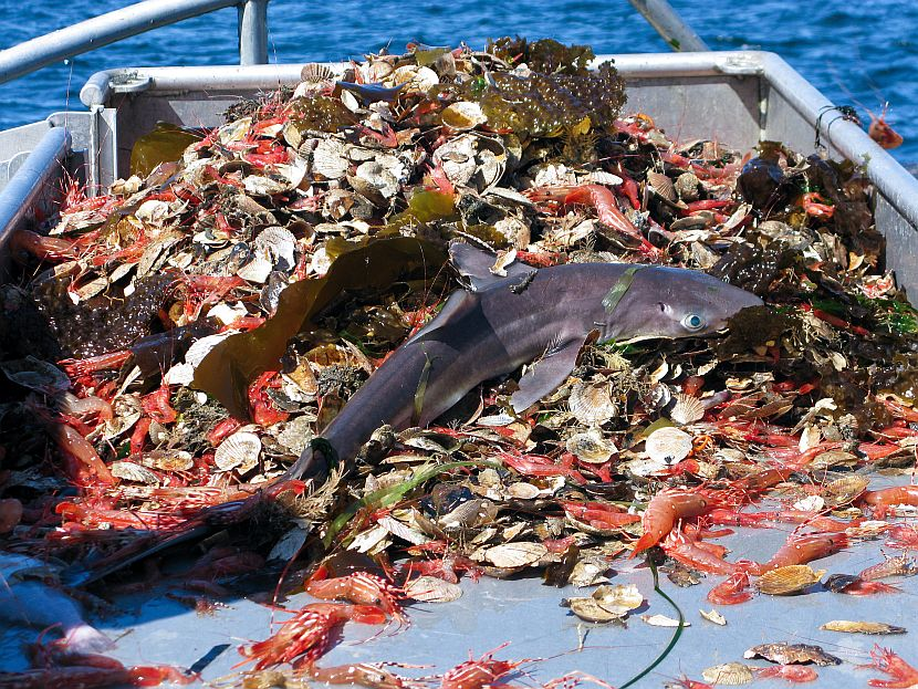 Shark Bycatch on Shark Awareness Day 2017