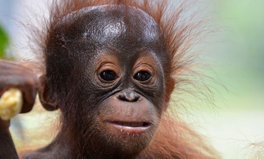 Unamed Baby at the Nyaru Menteng Orangutan Sanctuary