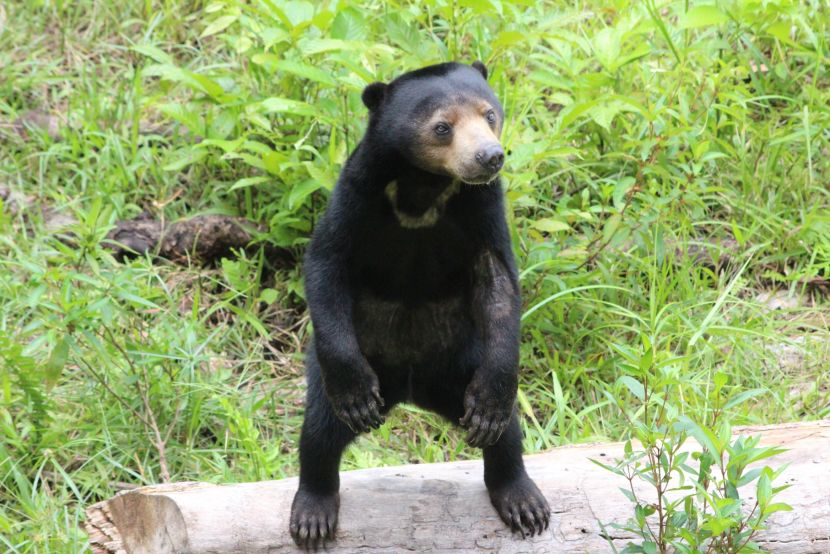 sun bears at The Great Orangutan Project