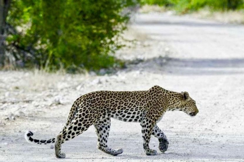 Leopard in Etosha National Park
