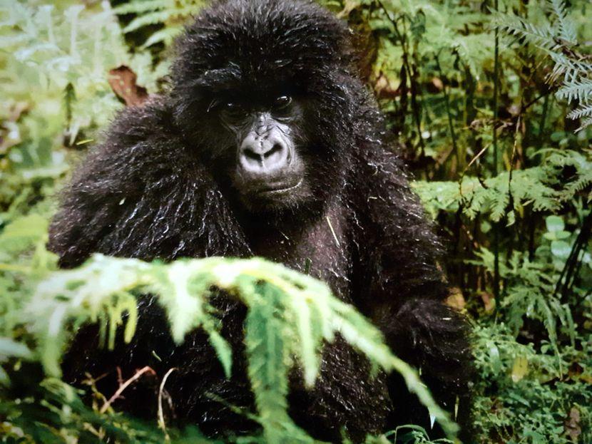 Gorilla on The Great Gorilla Project