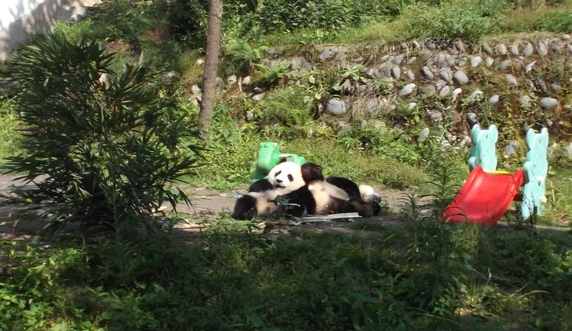 volunteer with pandas in china