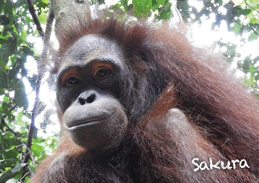 Orangutan released into the wild