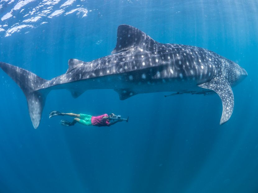 whale shark conservation