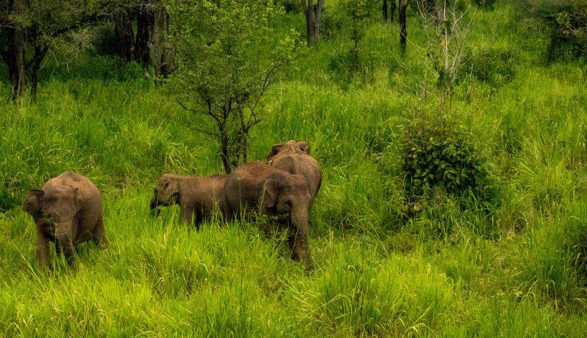 Wild Elephant Herd In Sri Lanka