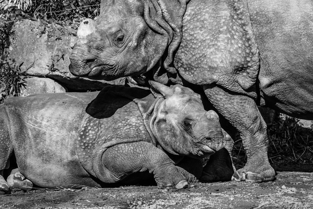 Young Indian Greater One-Horned Rhino With Mother - The Great Projects