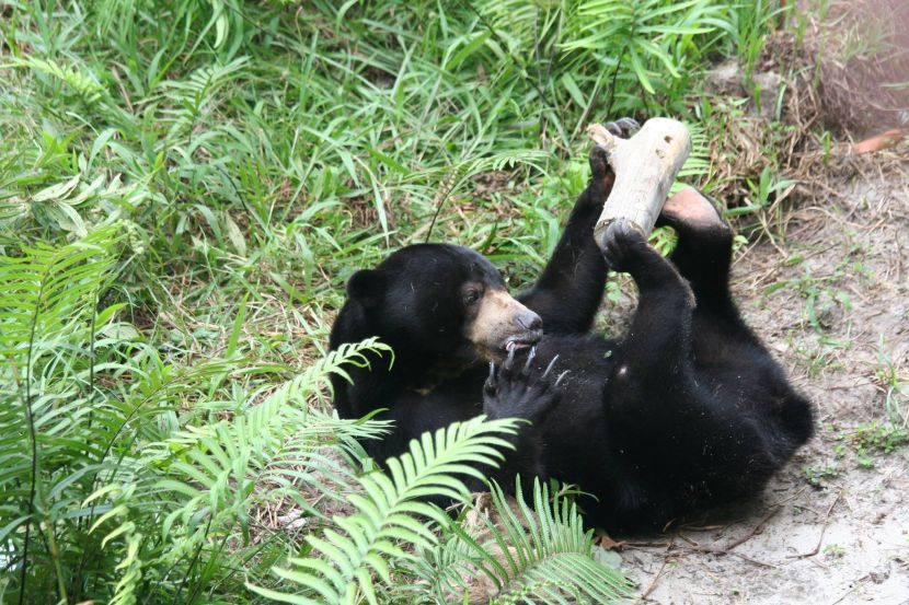 Sun Bear Playing At The Great Orangutan Project