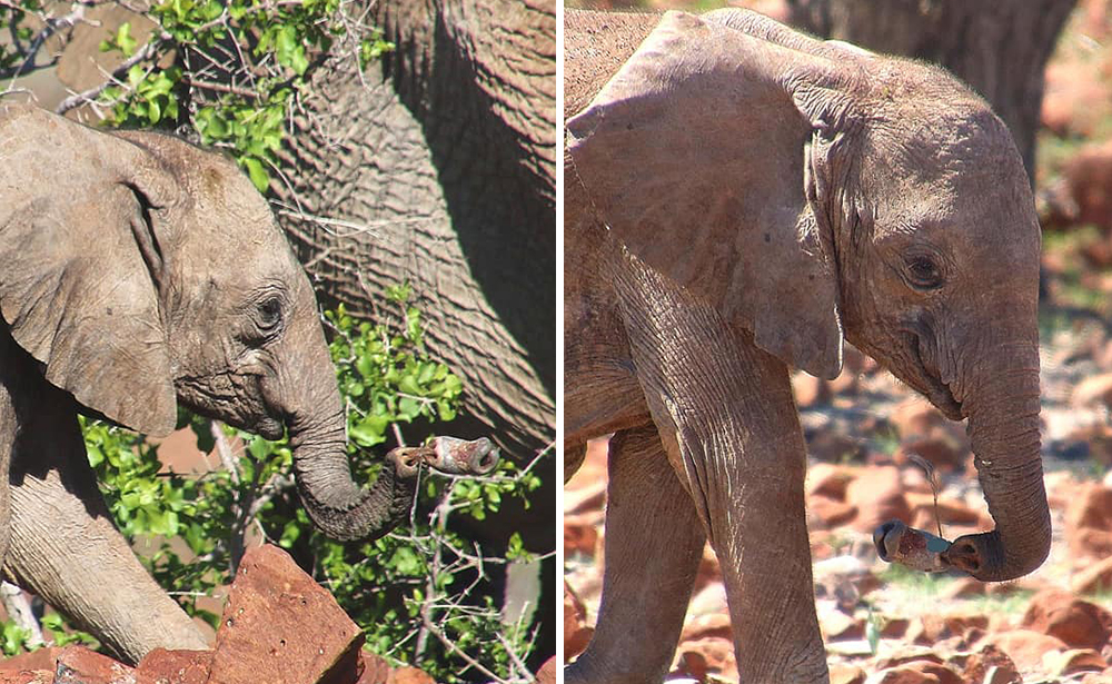 Snare Incident Resulting in Baby Elephant Injury