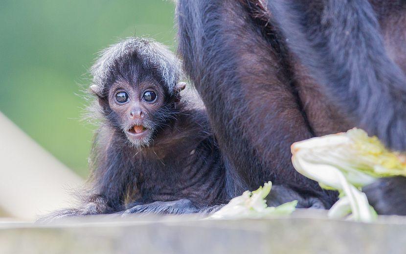 Black headed spider monkey baby