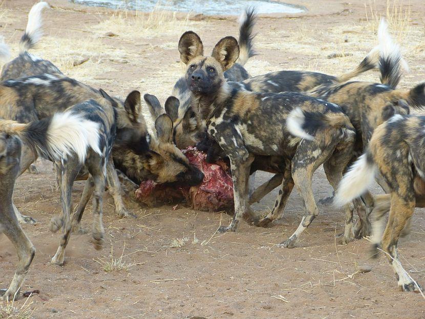 African Wild Dog Feeding