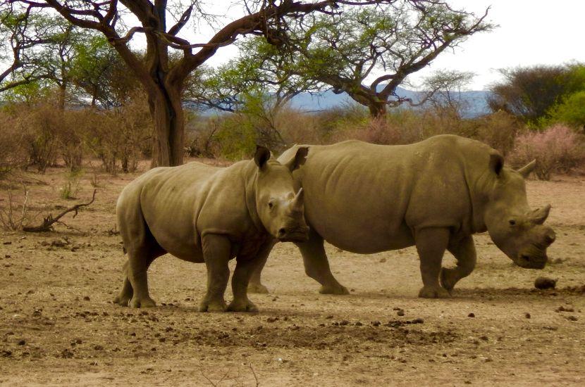 Black Rhinos at Etosha