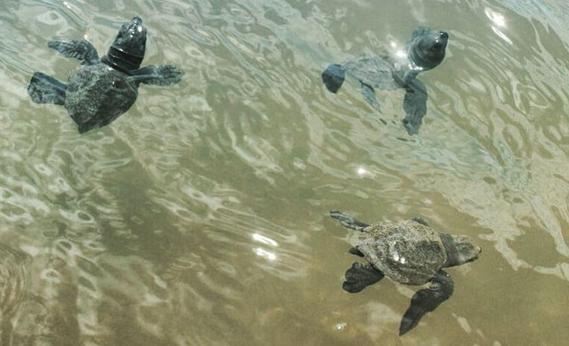 Hatchlings in the Ocean