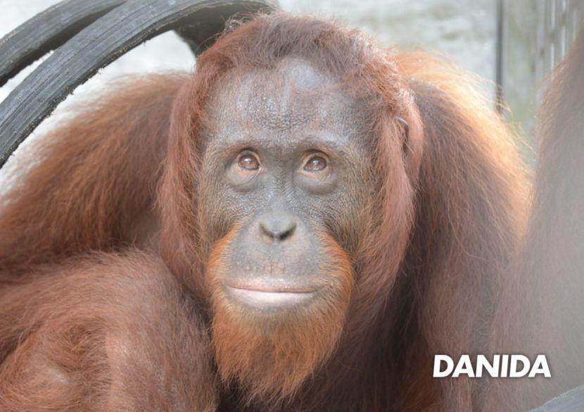 Orangutan release programme