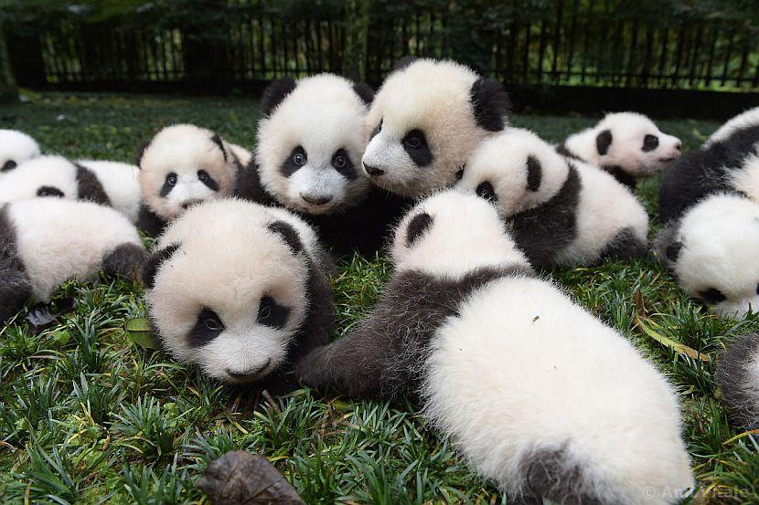 A bundle of panda cubs