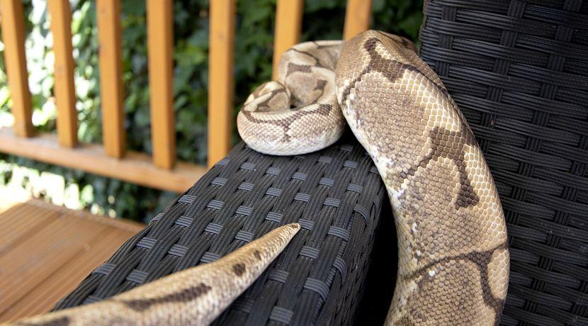 snake tail