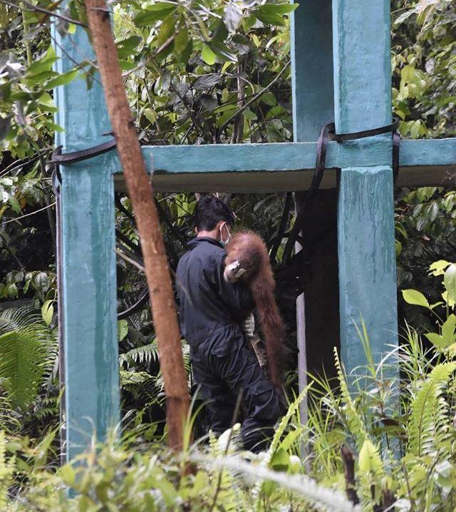 Orangutans taken to a new home