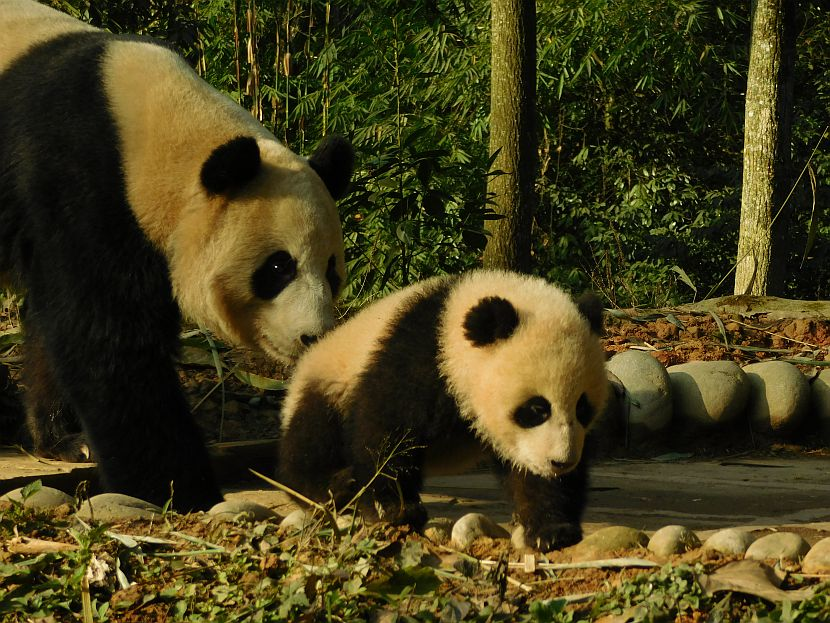 Panda Baby and mother