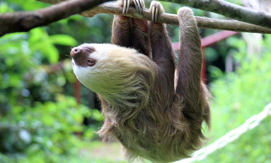 Sloth Hanging From Tree on Sloth Conservation and Wildlife Experience