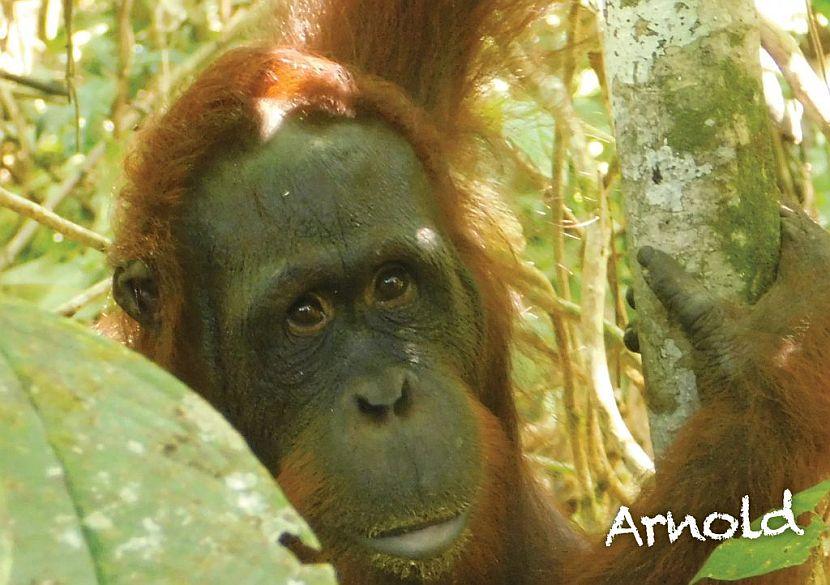 Orangutan release Samboja Lestari
