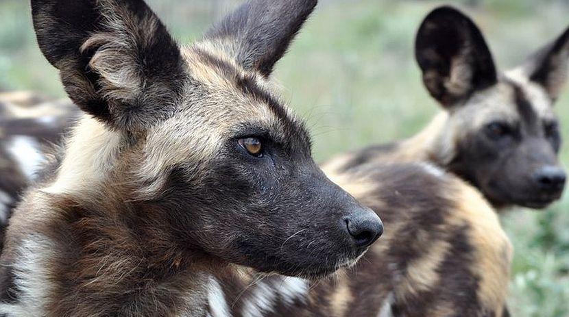 African Wild Dog - Namibia Wildlife Sanctuary