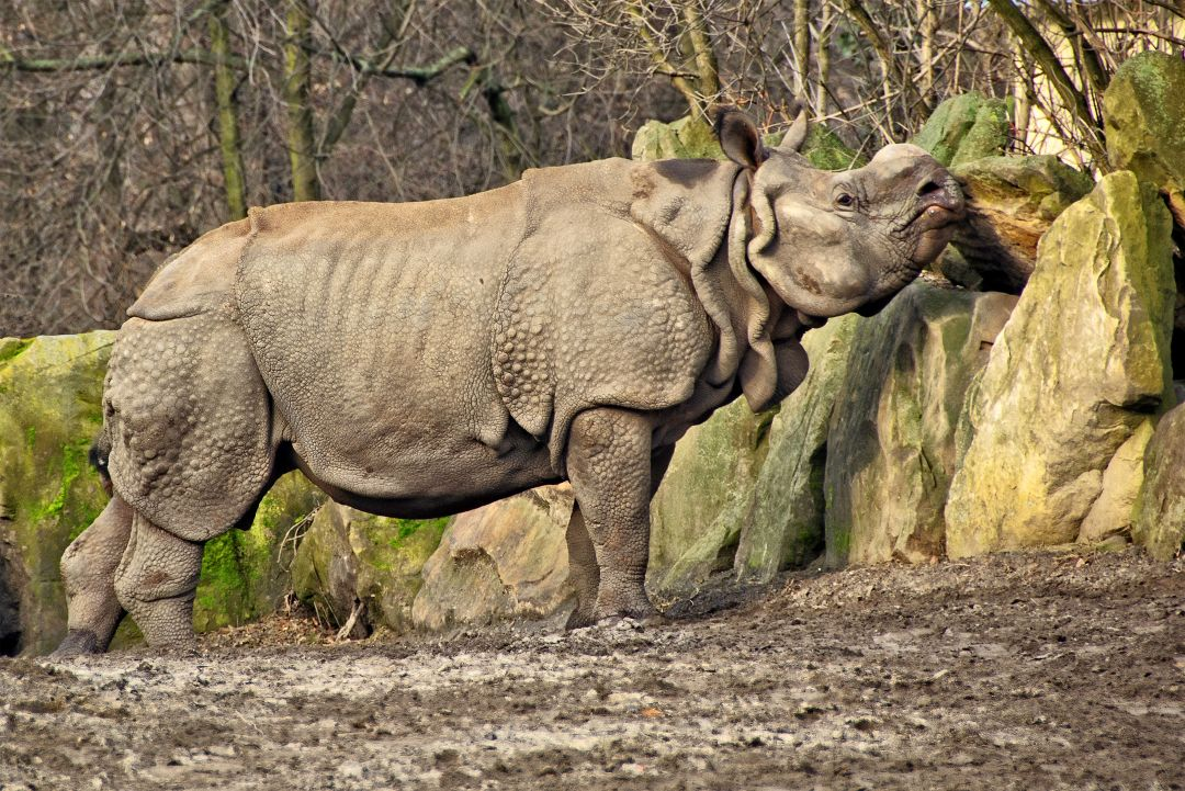 Indian Greater One Horned Rhino In National Park - The Great Projects