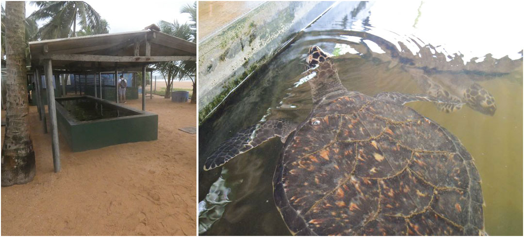 Holding Stores And Feeding Hawksbill and Loggerhead Sea Turtles at The Great Turtle Project Sri Lanka