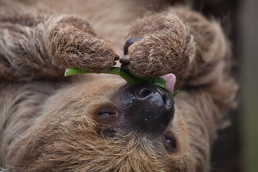 Two-Toed Sloth Eating Leaf