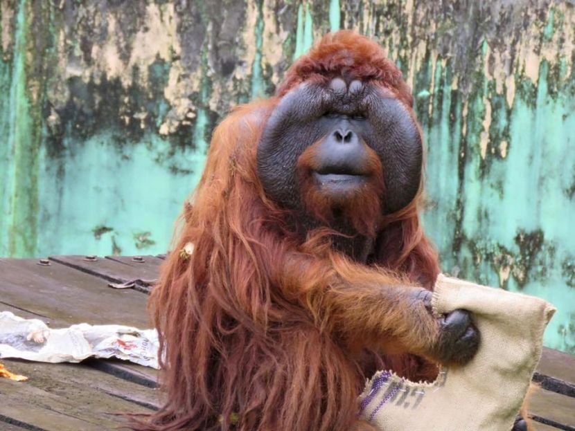 Aman With Enrichment At The Great Orangutan Project