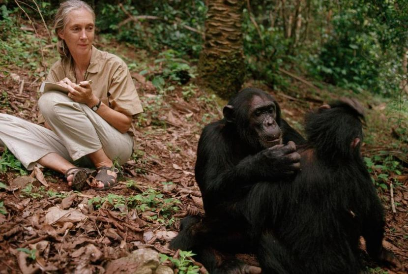 Jane Goodall With Chimps