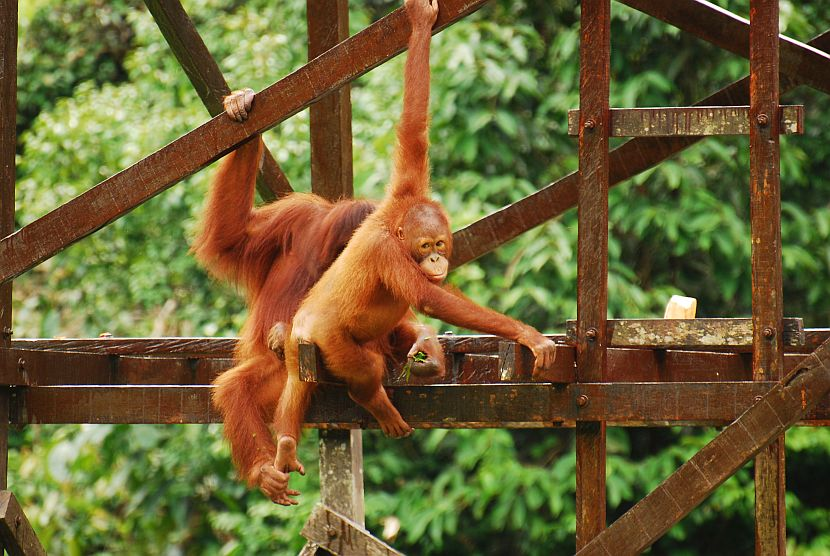 Orangutans climbing