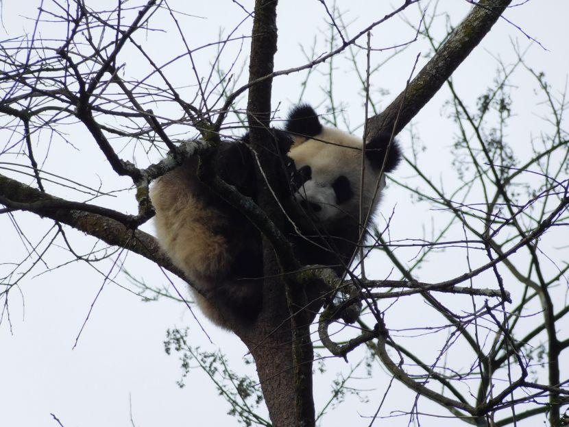 Panda in The Wild